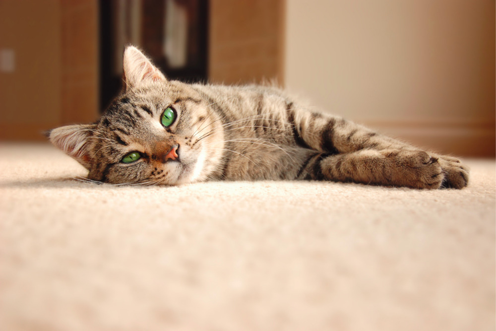 Cat-on-carpet
